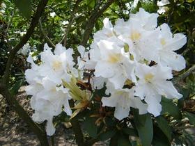 Rododendrony z ogrodu botanicznego w Zagwiździu (1).jpeg