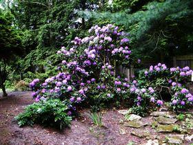 Rododendrony z ogrodu botanicznego w Zagwiździu (3).jpeg