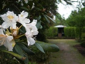 Rododendrony z ogrodu botanicznego w Zagwiździu (8).jpeg