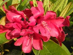 Rododendrony z ogrodu botanicznego w Zagwiździu (10).jpeg