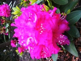 Rododendrony z ogrodu botanicznego w Zagwiździu (11).jpeg