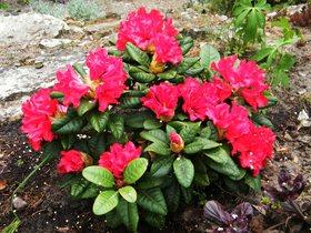 Rododendrony z ogrodu botanicznego w Zagwiździu (18).jpeg